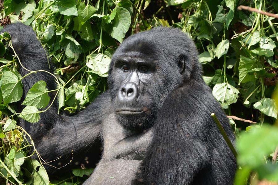 orobica-viaggi-offerta-uganda-gorilla-di-montagna