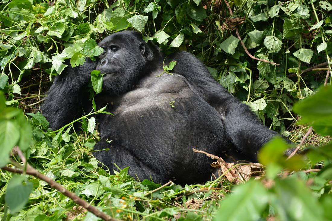 orobica-viaggi-offerta-uganda-gorilla-foresta-pluviale